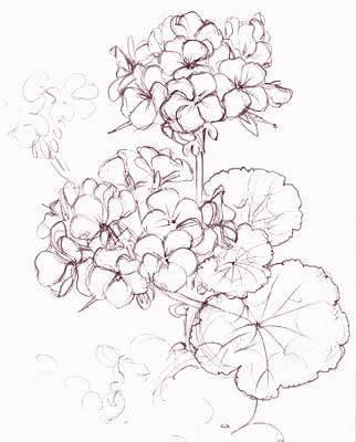 geranium flower drawing - photo #8